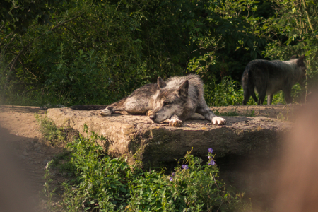 450x300-Late-Zoo-Timber-Wolf-Erlebnis-Zoo-Hannover