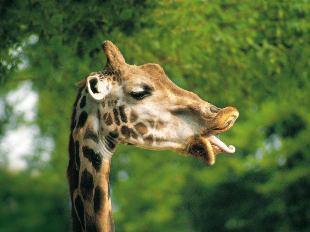 giraffen fotos