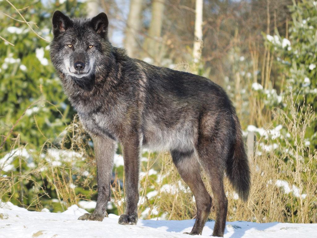 Wolf Größe
