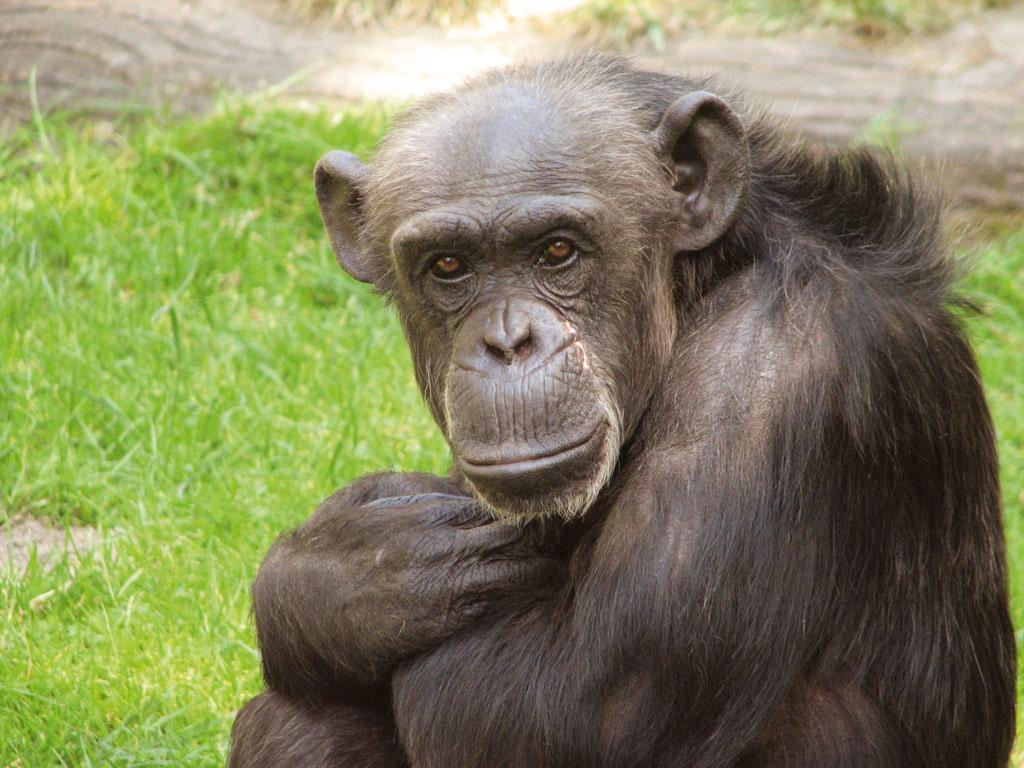Bonobos und Schimpansen: Die zwei Gesichter des Menschen