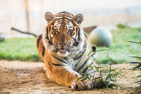 450x300-Late-Zoo-Tiger-Erlebnis-Zoo-Hannover