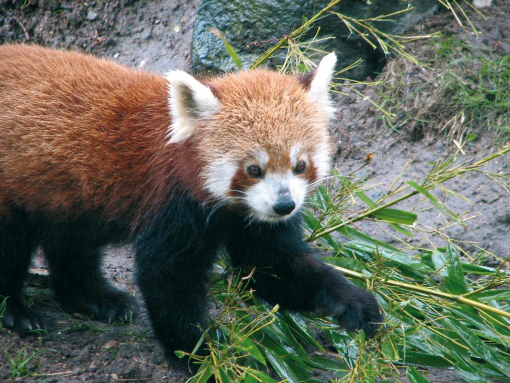 Großzügig Malvorlagen Für Den Roten Panda Bilder - Framing ...