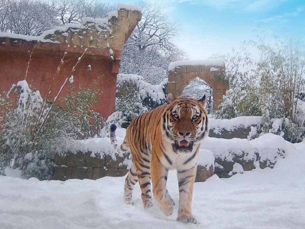 sibirischer tiger erlebnis zoo hannover. Black Bedroom Furniture Sets. Home Design Ideas