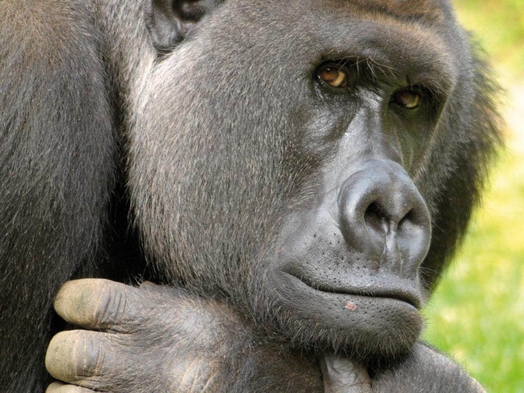 arbeitsblatt vorschule 187 steckbrief gorilla vorstellung