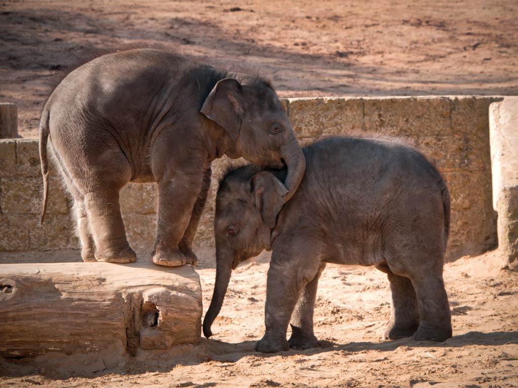 Asiatischer elefant steckbrief