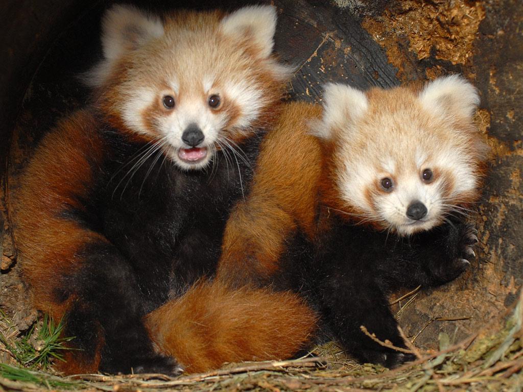 Pin Roter Panda on Pinterest