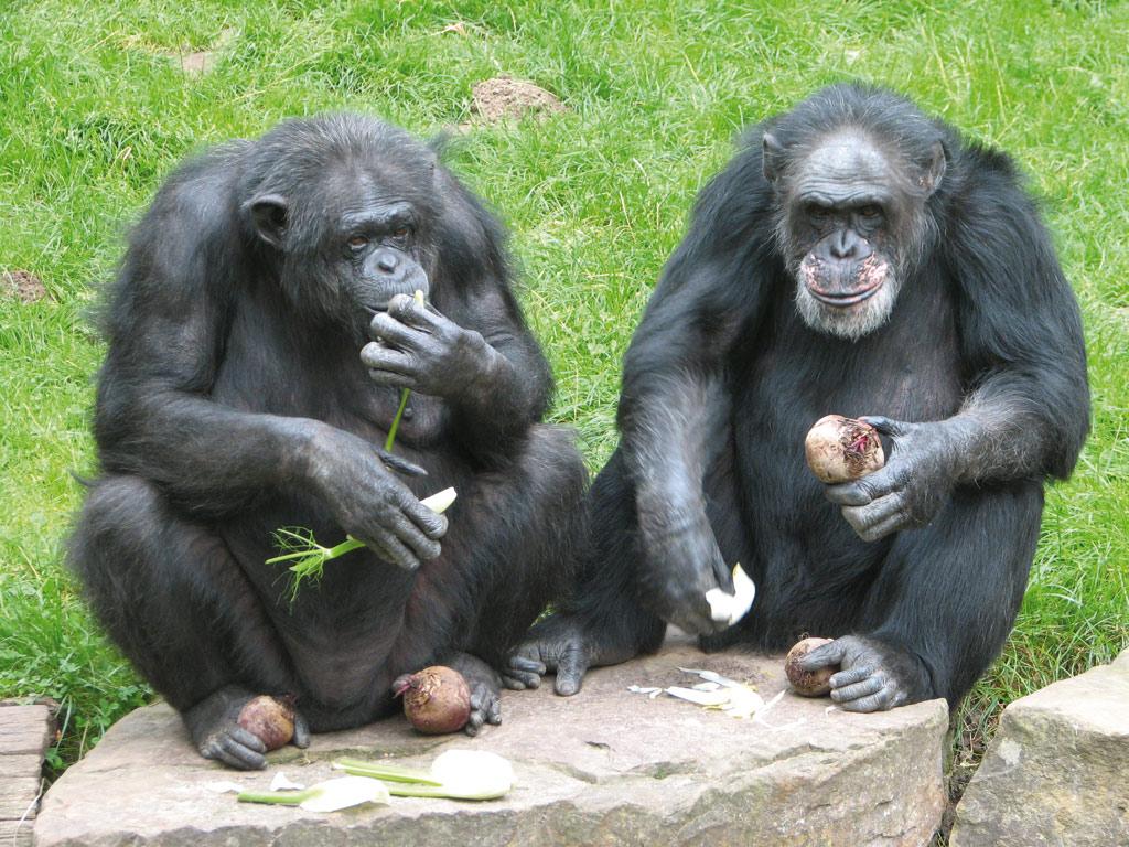Sex zwischen Menschen und Schimpansen