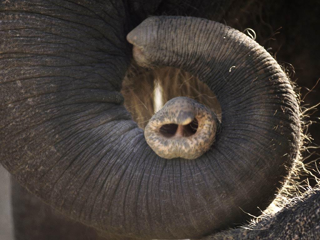 afrikanischer elefant wikipedia. Black Bedroom Furniture Sets. Home Design Ideas