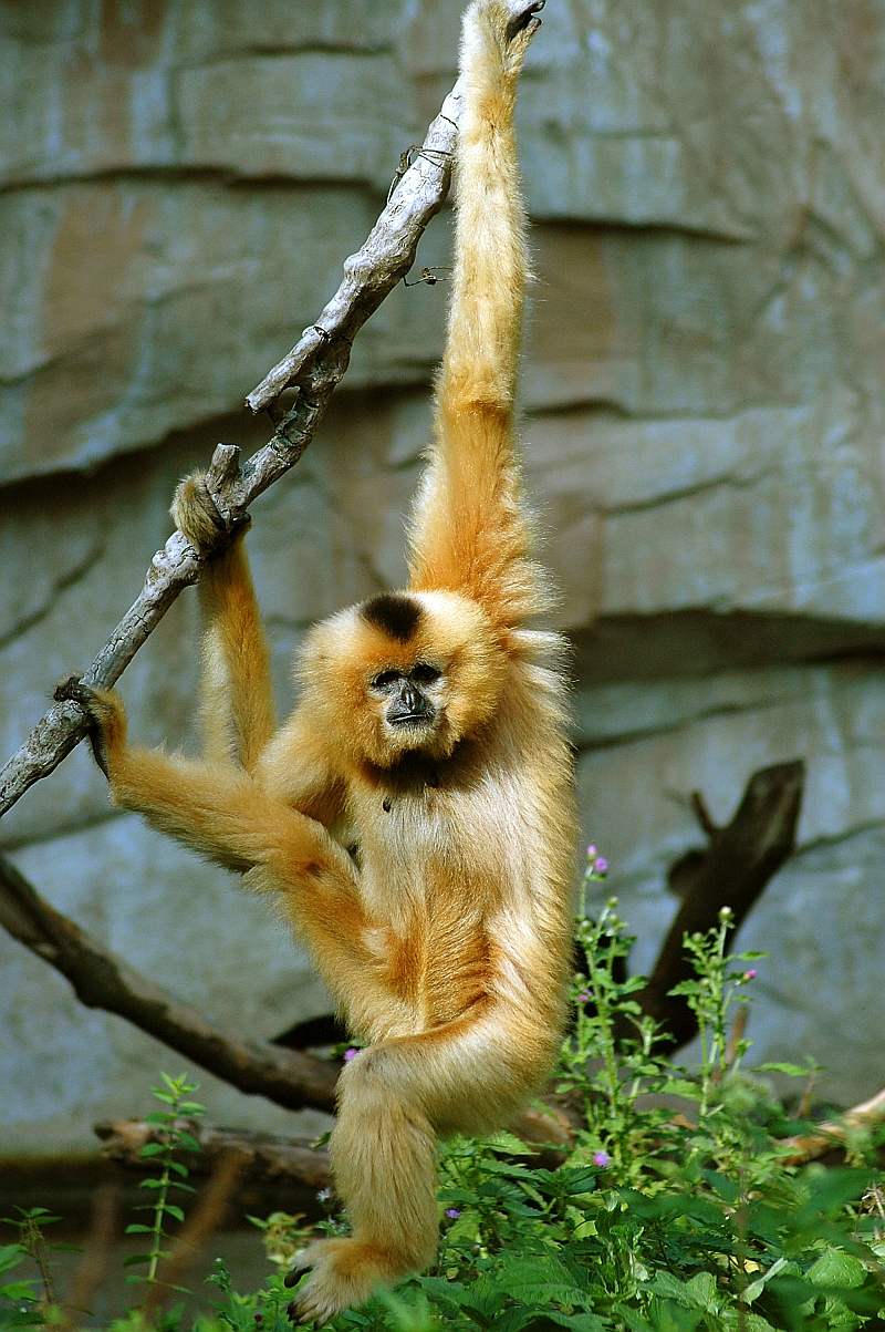800x1203 Gibbon Erlebnis-Zoo Hannover