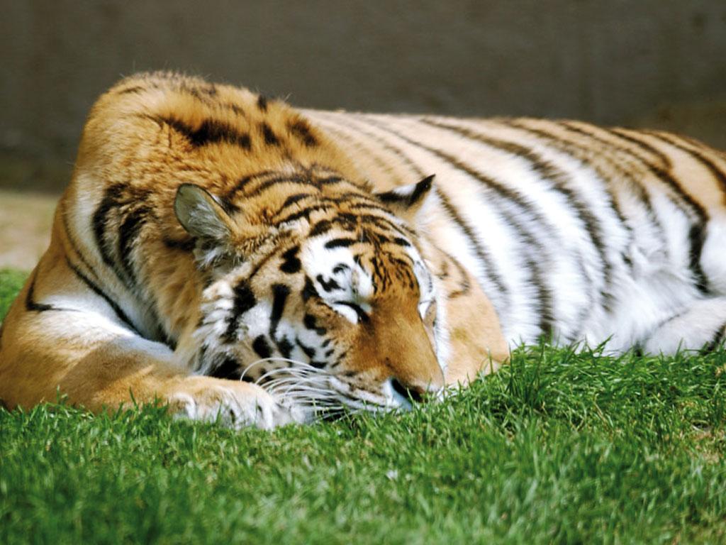 Sibirischer Tiger Erlebnis Zoo Hannover