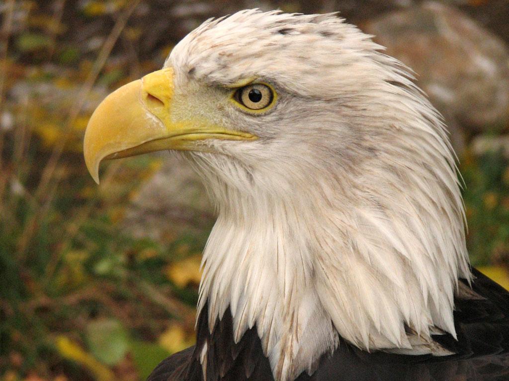 Adler Weißer Kopf