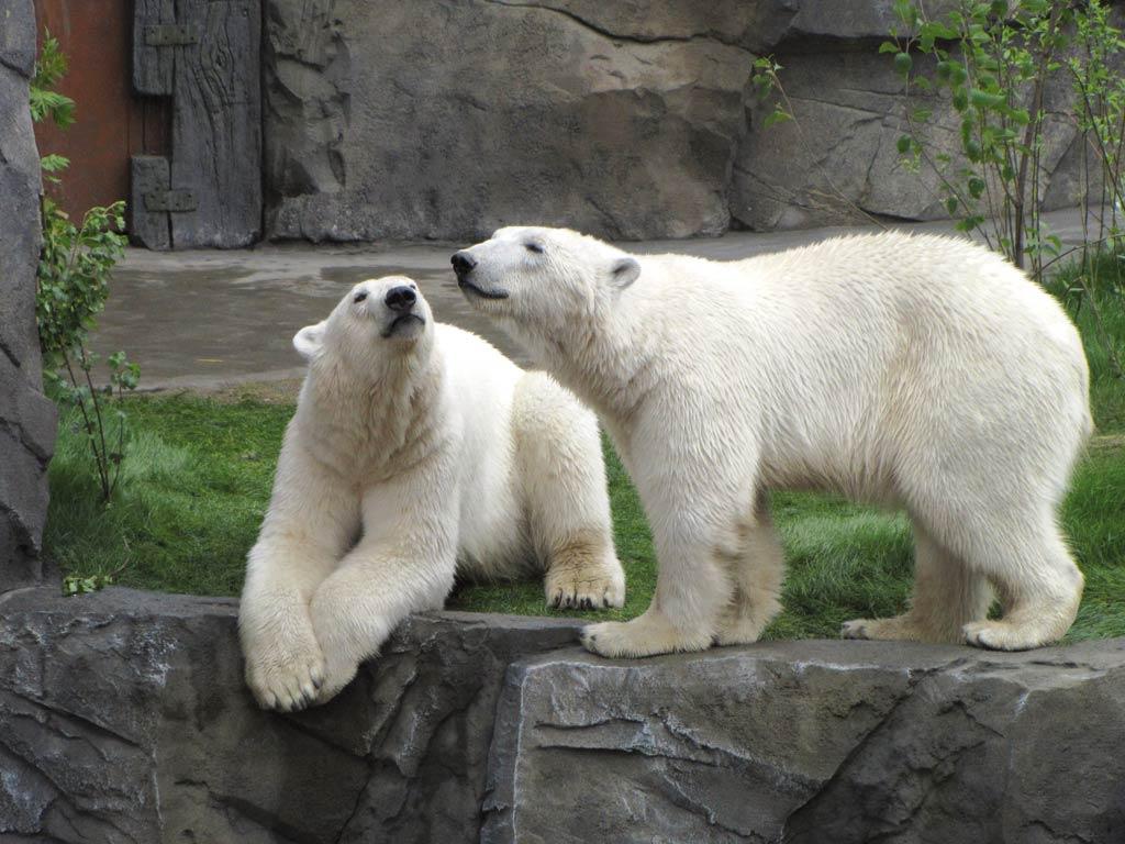 Zoo Eisbären
