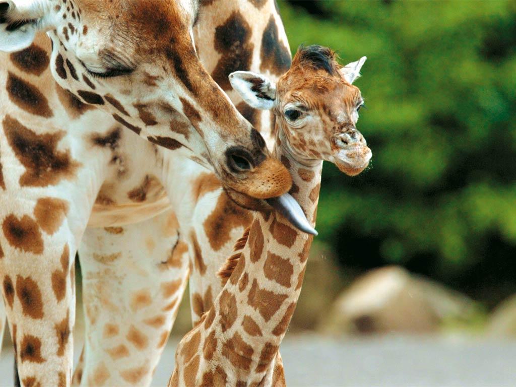 Giraffe steckbrief
